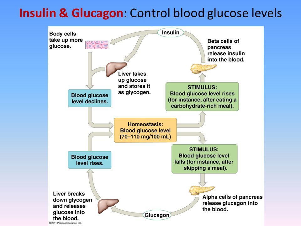 Insulin & Glucagon: Control blood glucose levels