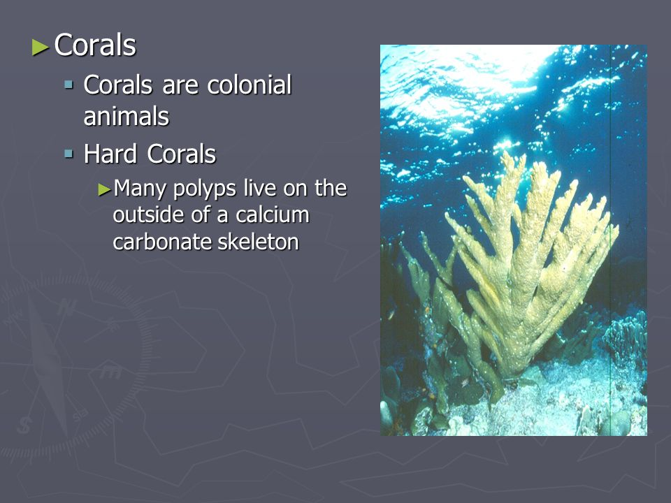 Corals Corals are colonial animals Hard Corals