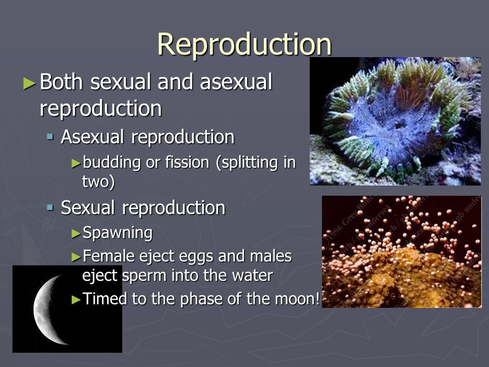 Reproduction Both sexual and asexual reproduction Asexual reproduction