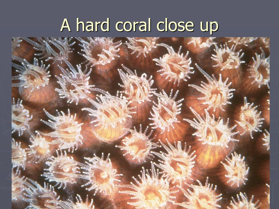 A hard coral close up
