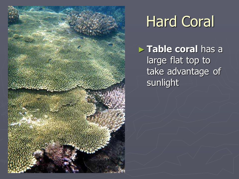 Hard Coral Table coral has a large flat top to take advantage of sunlight