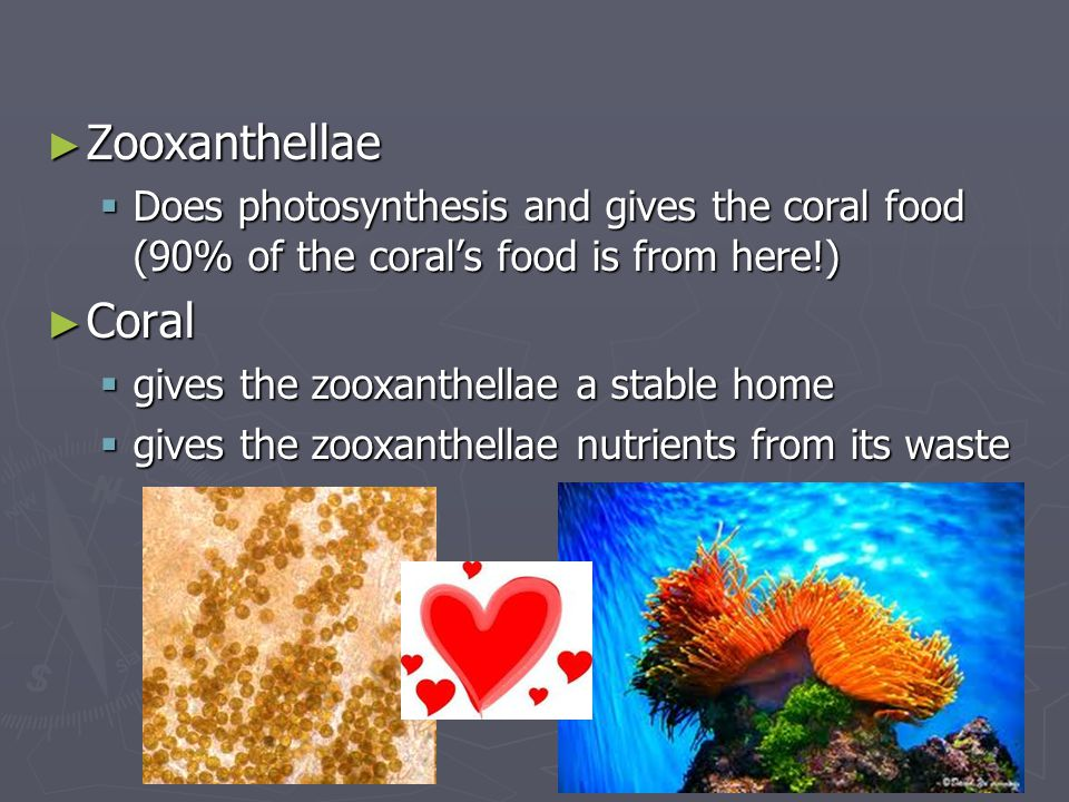 Zooxanthellae Does photosynthesis and gives the coral food (90% of the coral's food is from here!) Coral.