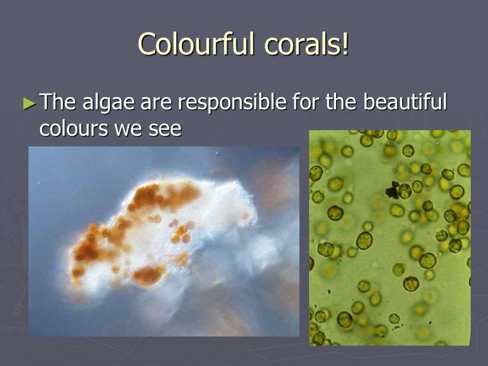 Colourful corals! The algae are responsible for the beautiful colours we see