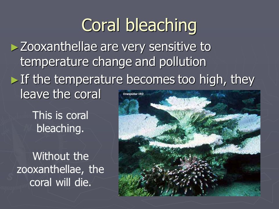 Coral bleaching Zooxanthellae are very sensitive to temperature change and pollution. If the temperature becomes too high, they leave the coral.