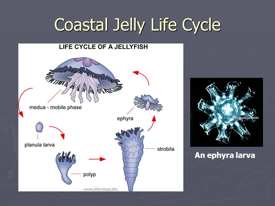 Coastal Jelly Life Cycle