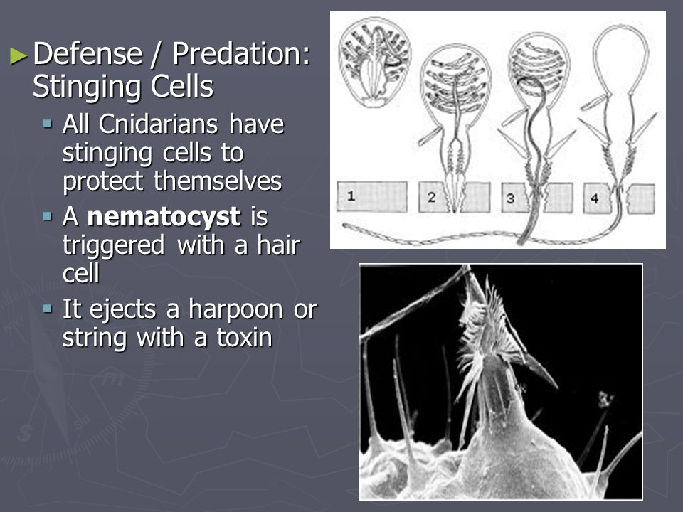 Defense / Predation: Stinging Cells