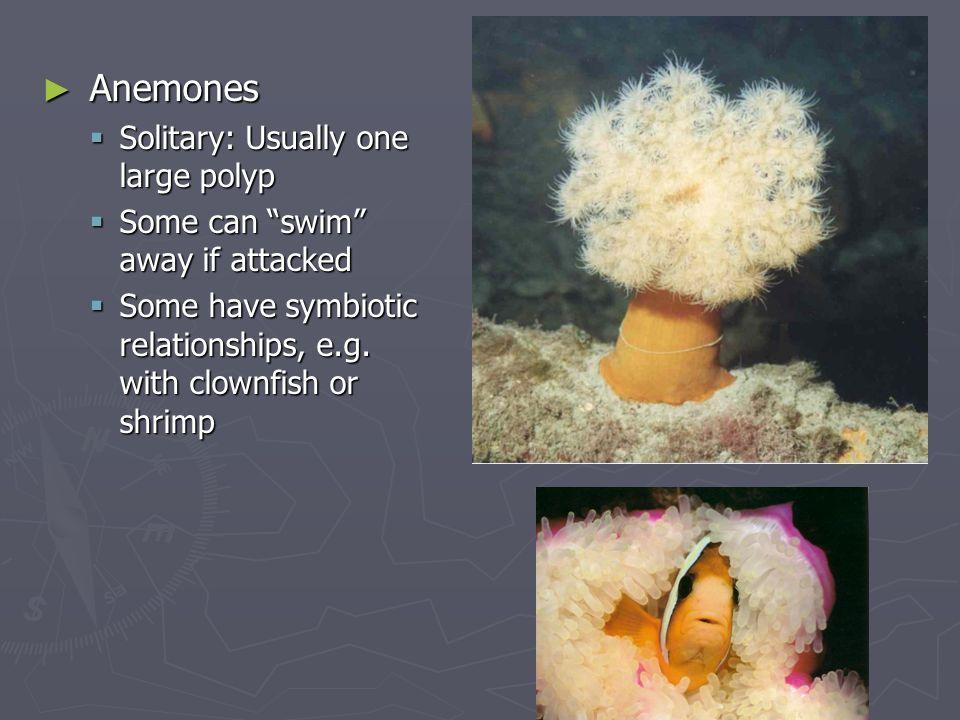 Anemones Solitary: Usually one large polyp