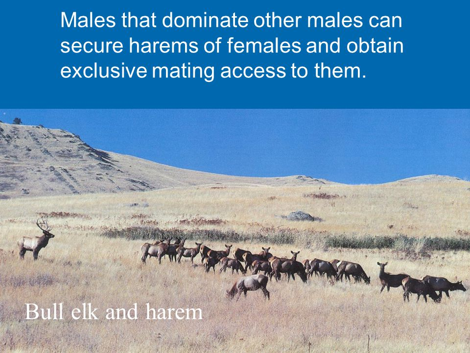 Bull elk and harem Males that dominate other males can