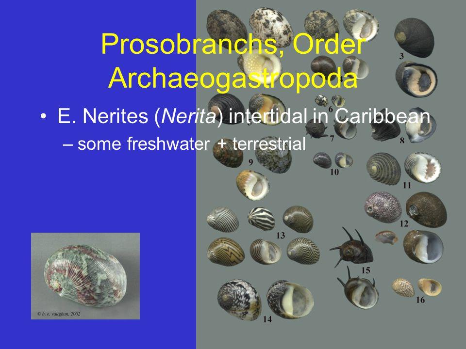 Prosobranchs, Order Archaeogastropoda