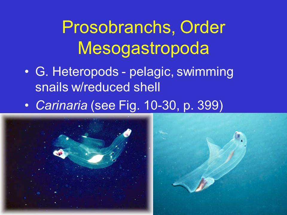 Prosobranchs, Order Mesogastropoda