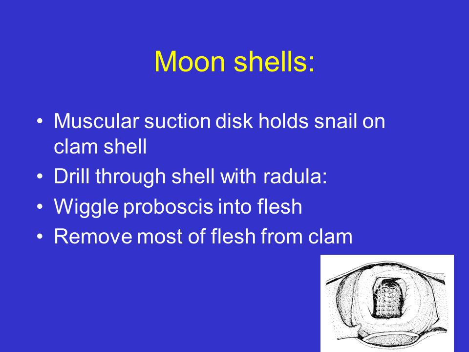 Moon shells: Muscular suction disk holds snail on clam shell