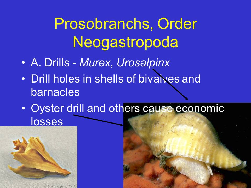 Prosobranchs, Order Neogastropoda
