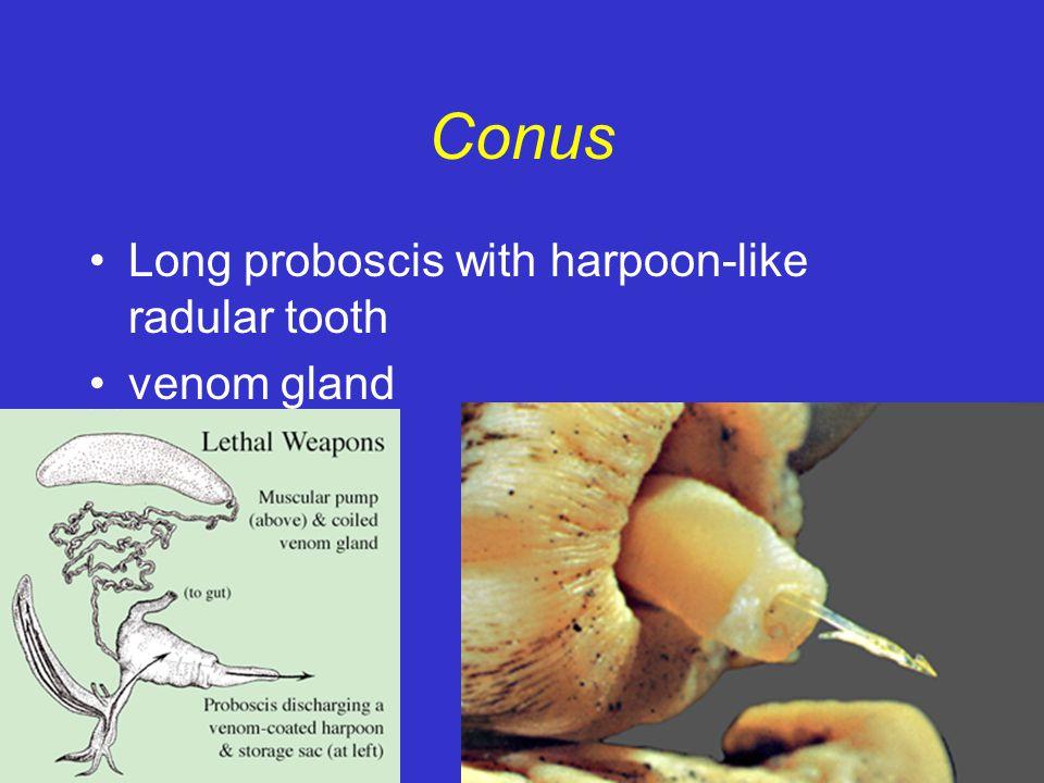 Conus Long proboscis with harpoon-like radular tooth venom gland