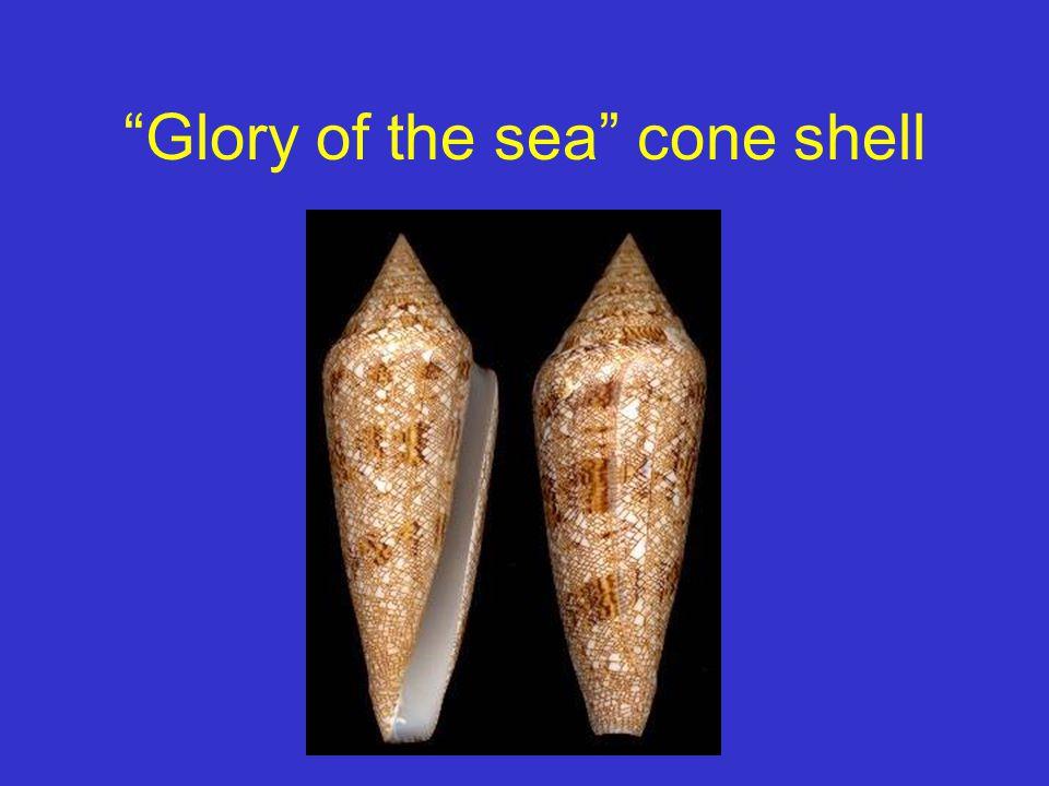 Glory of the sea cone shell
