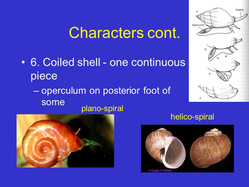 Characters cont. 6. Coiled shell - one continuous piece