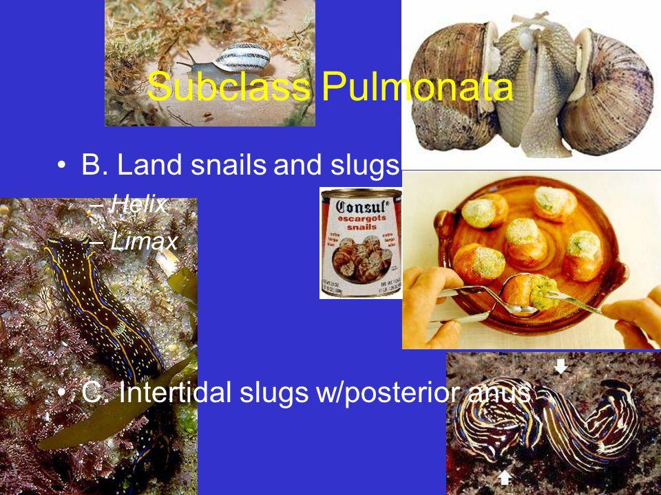 Subclass Pulmonata B. Land snails and slugs