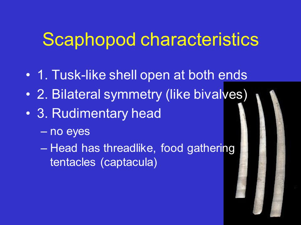Scaphopod characteristics