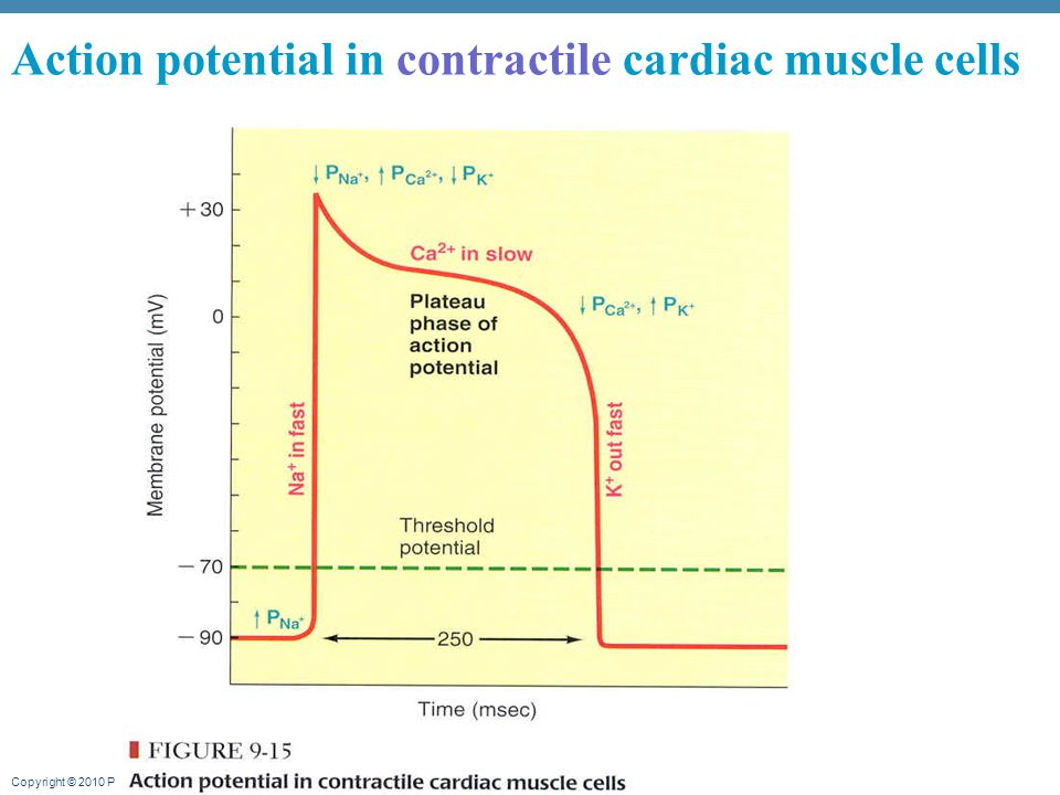 Action potential in contractile cardiac muscle cells