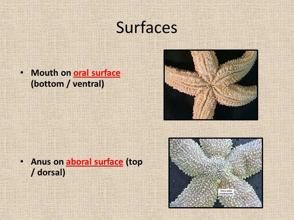 Surfaces Mouth on oral surface (bottom / ventral)