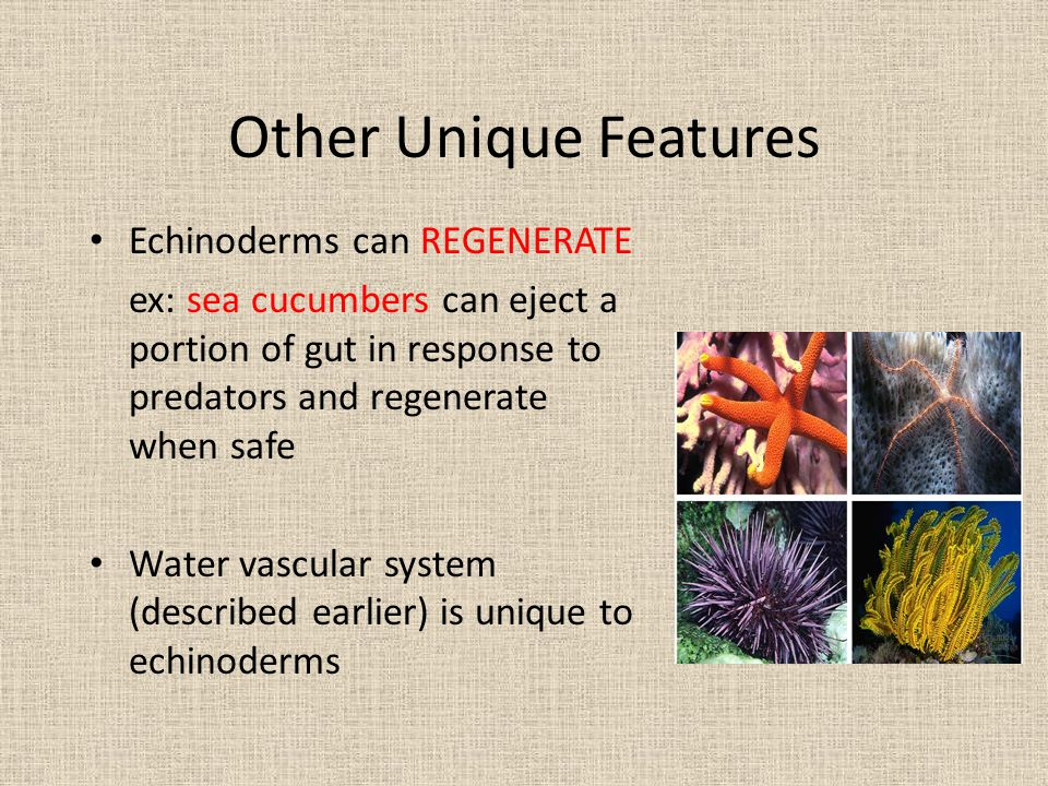 Other Unique Features Echinoderms can REGENERATE