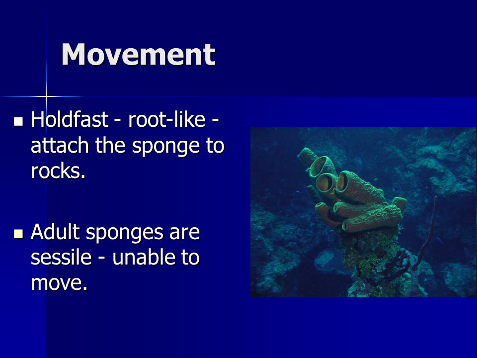 Movement Holdfast - root-like - attach the sponge to rocks.