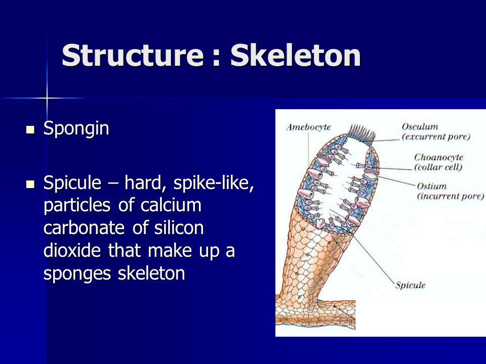 Structure : Skeleton Spongin