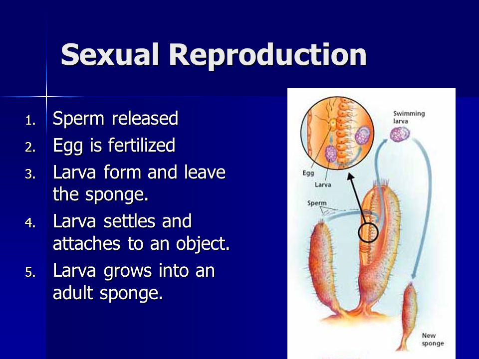 Sexual Reproduction Sperm released Egg is fertilized