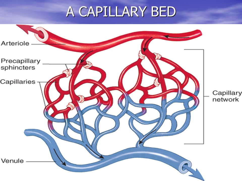 A CAPILLARY BED