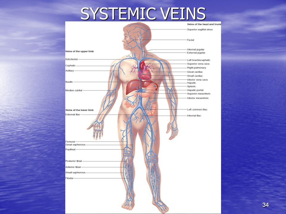 SYSTEMIC VEINS
