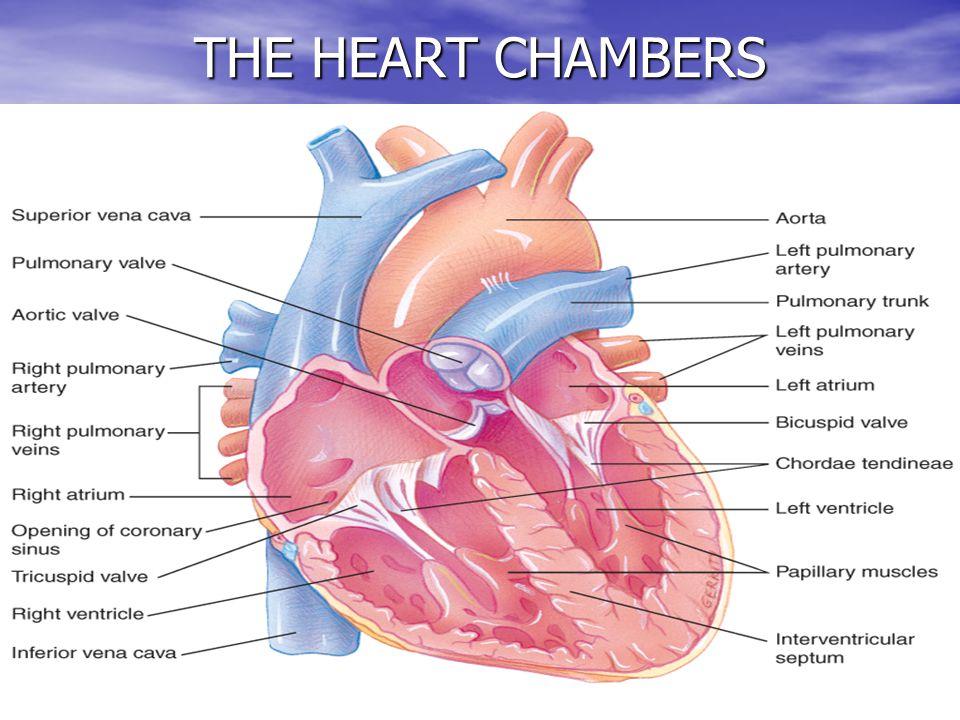THE HEART CHAMBERS