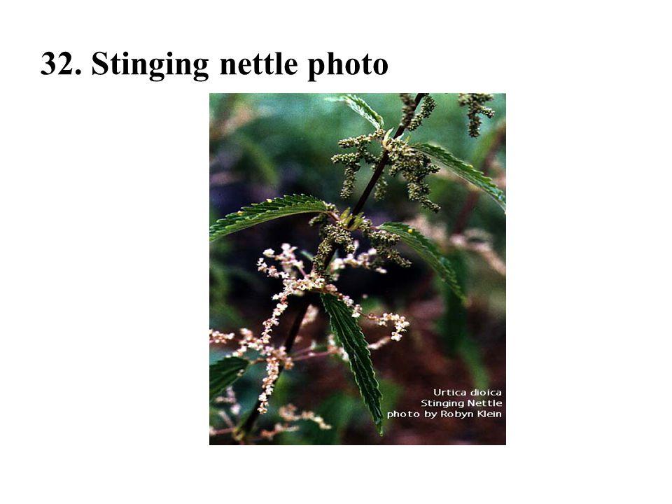 32. Stinging nettle photo