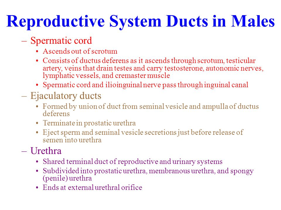 Reproductive System Ducts in Males