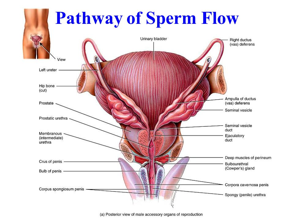 Pathway of Sperm Flow