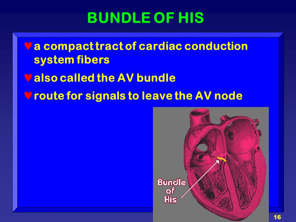 BUNDLE OF HIS a compact tract of cardiac conduction system fibers
