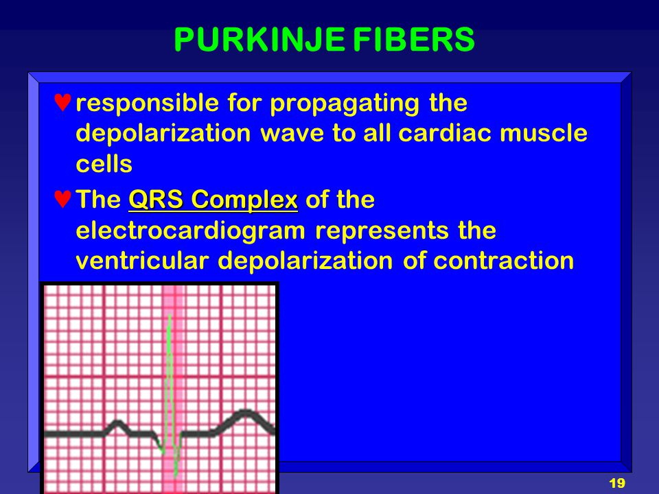 PURKINJE FIBERS responsible for propagating the depolarization wave to all cardiac muscle cells.