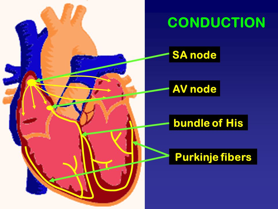 CONDUCTION SA node AV node bundle of His Purkinje fibers