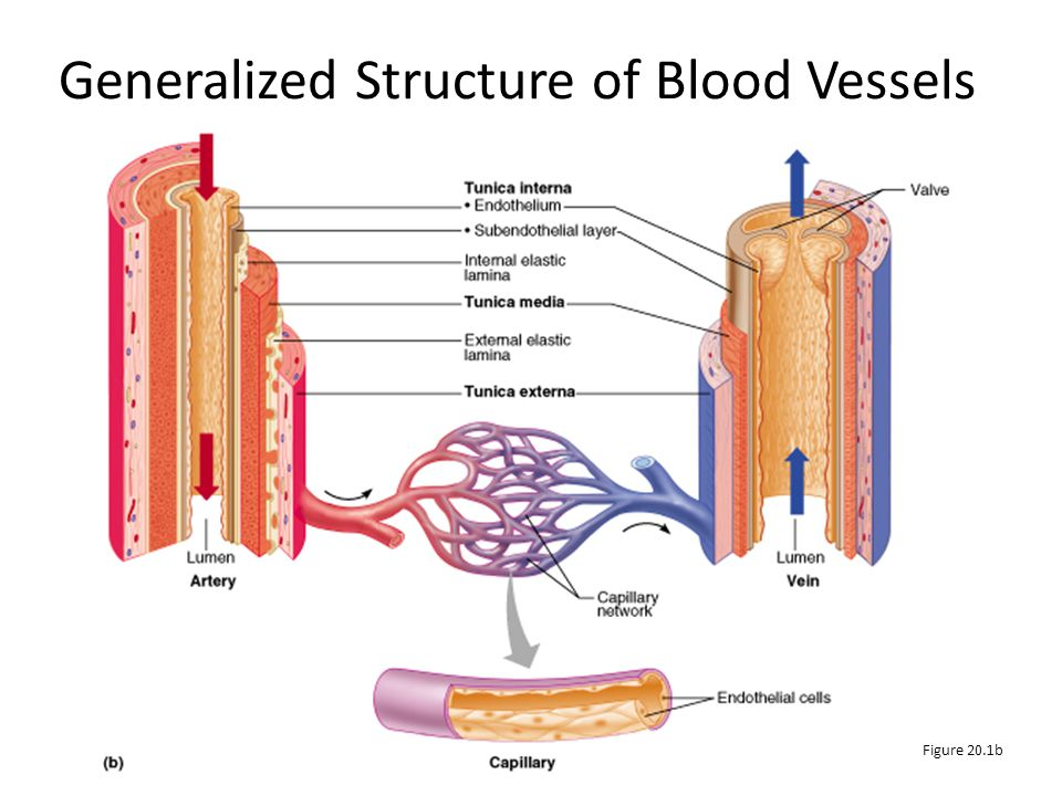 Generalized Structure of Blood Vessels