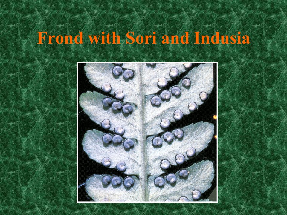 Frond with Sori and Indusia