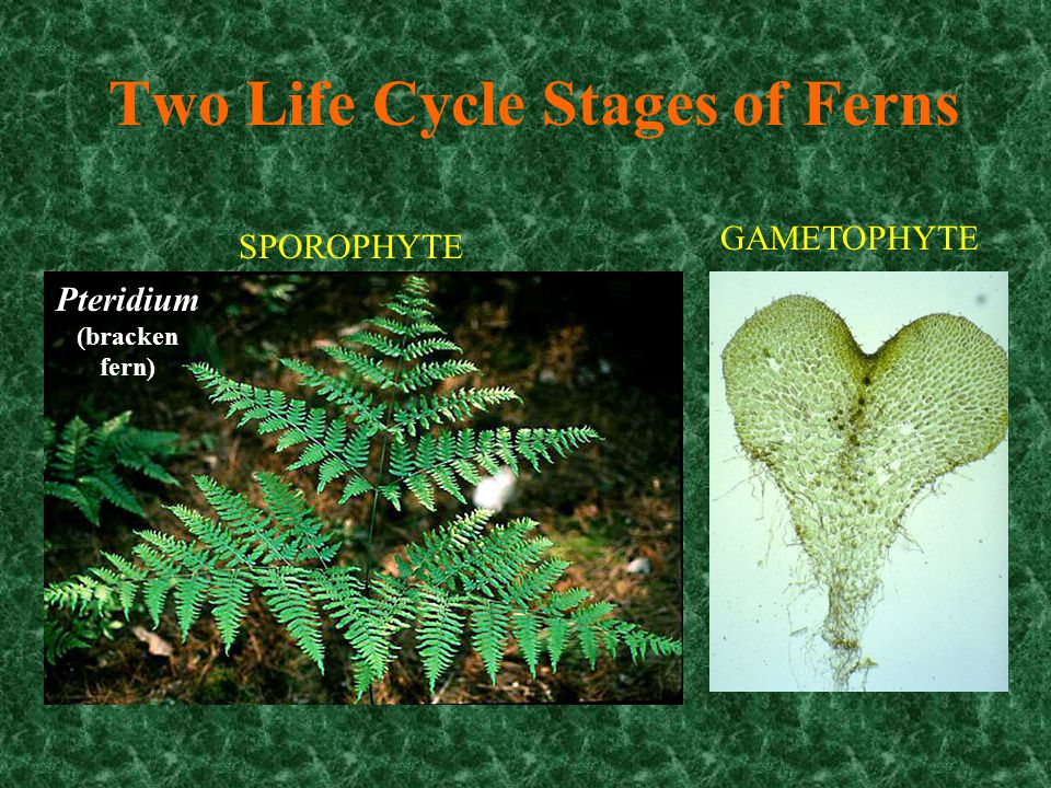 Two Life Cycle Stages of Ferns