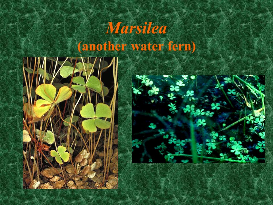 Marsilea (another water fern)