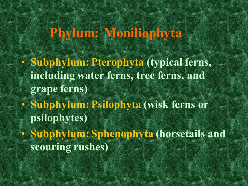 Phylum: Moniliophyta Subphylum: Pterophyta (typical ferns, including water ferns, tree ferns, and grape ferns)