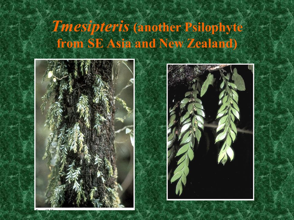 Tmesipteris (another Psilophyte from SE Asia and New Zealand)