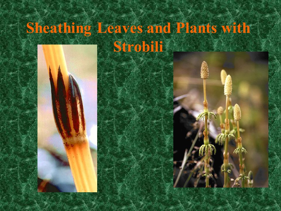 Sheathing Leaves and Plants with Strobili