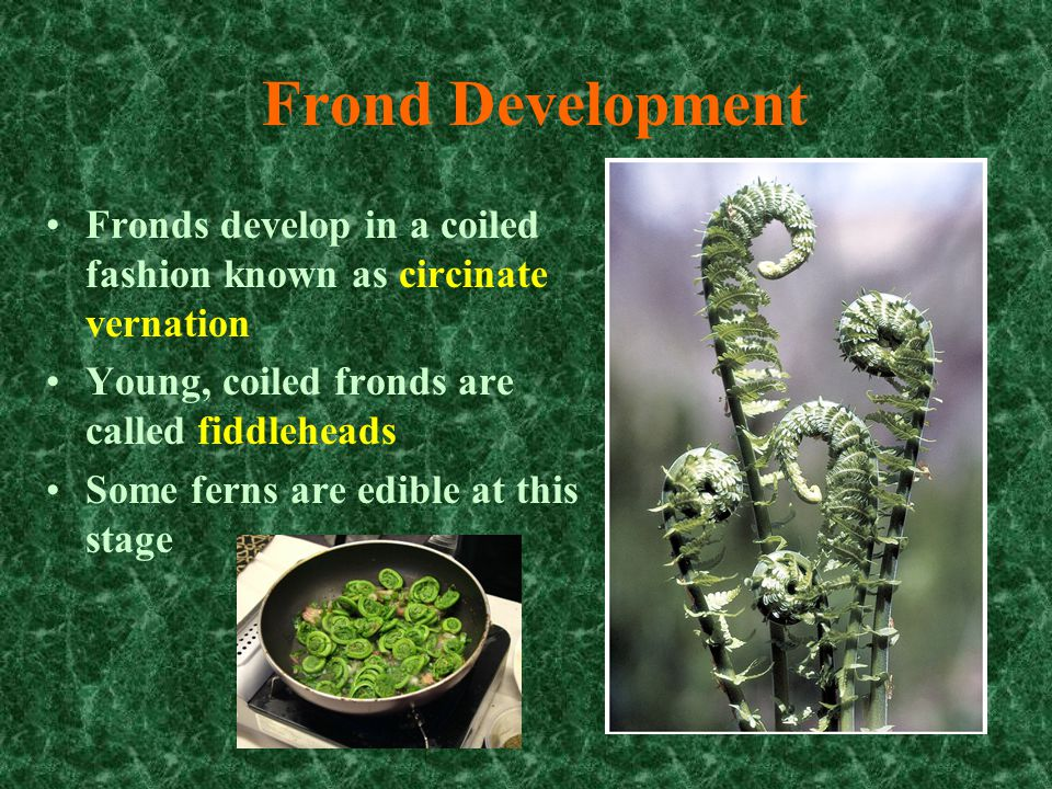 Frond Development Fronds develop in a coiled fashion known as circinate vernation. Young, coiled fronds are called fiddleheads.