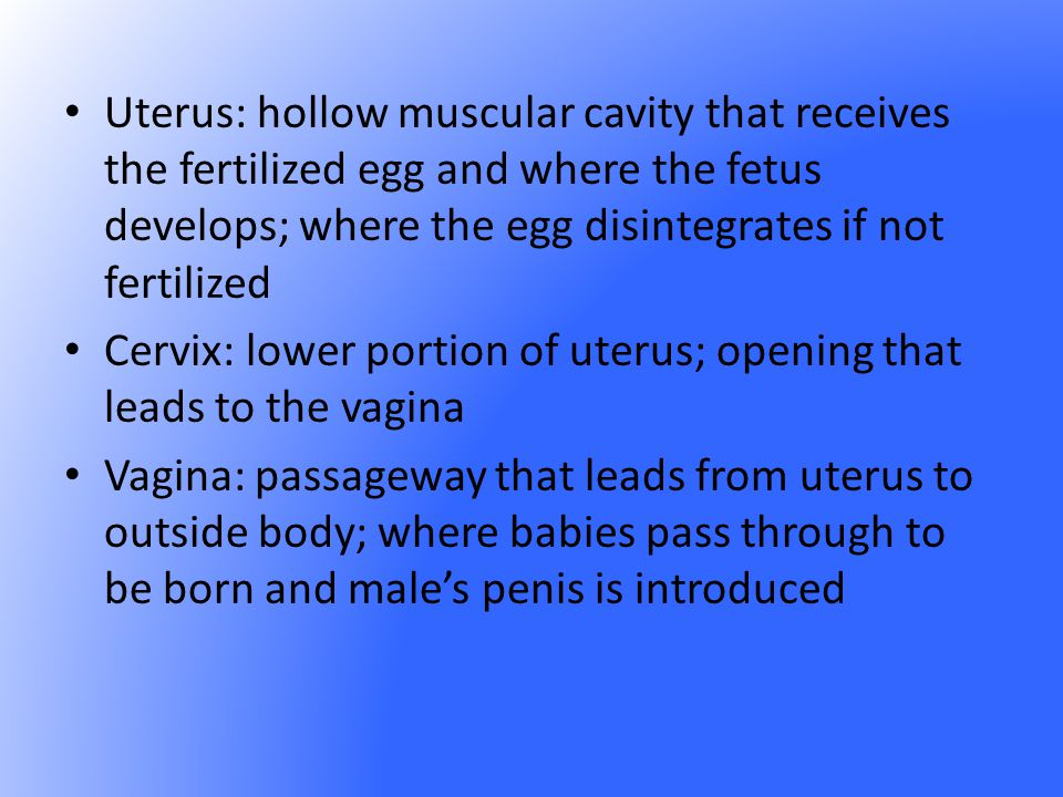Uterus: hollow muscular cavity that receives the fertilized egg and where the fetus develops; where the egg disintegrates if not fertilized