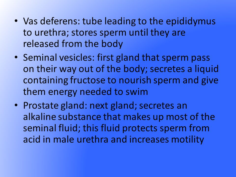 Vas deferens: tube leading to the epididymus to urethra; stores sperm until they are released from the body