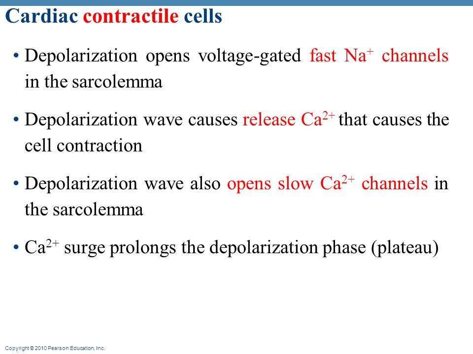 Cardiac contractile cells