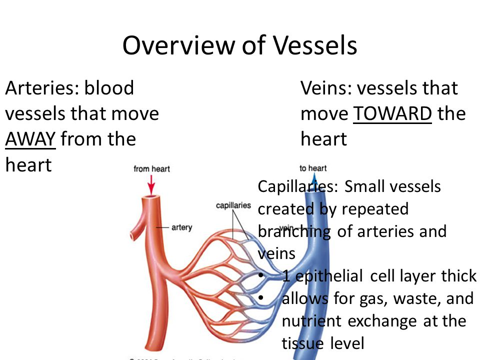 Overview of Vessels Arteries: blood vessels that move AWAY from the heart. Veins: vessels that move TOWARD the heart.