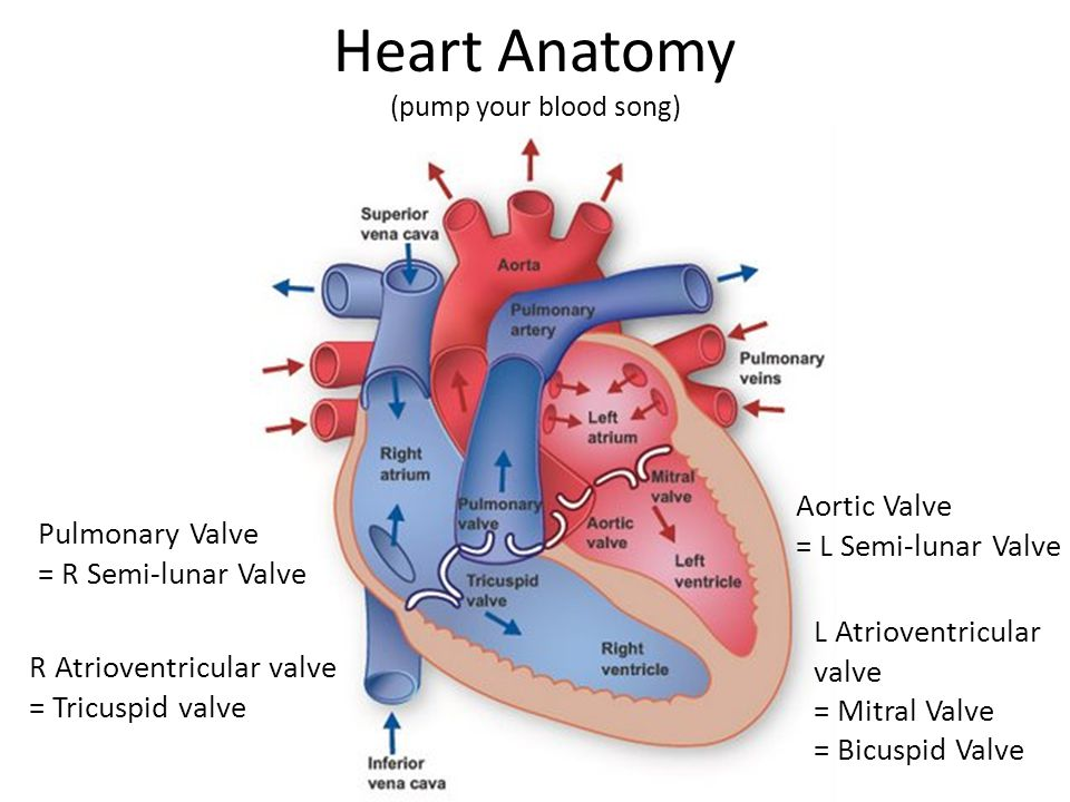 Heart Anatomy (pump your blood song)