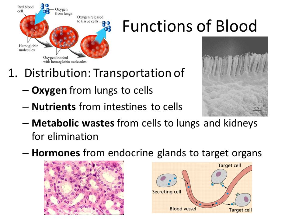 Functions of Blood Distribution: Transportation of